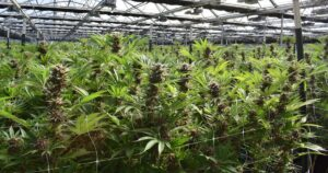 Cannabis companies use AI to create purer, stronger weed as marijuana industry booms